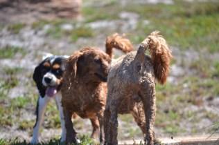 Banksia Park Puppies Willbee - 1 of 54 (3)