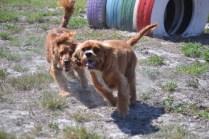Banksia Park Puppies Willbee - 1 of 54 (37)