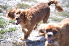 Banksia Park Puppies Willbee - 1 of 54 (50)