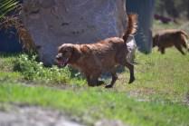 Banksia Park Puppies Willbee - 1 of 54 (8)