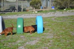 Banksia Park Puppies Willbee - 25 of 29