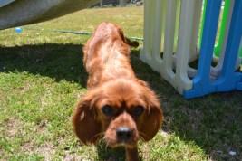 sage-banksia-park-puppies-1-of-13