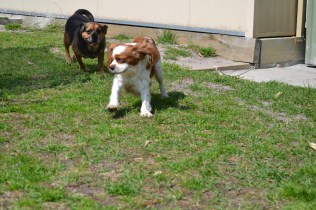 Starlet-Cavalier-Banksia Park Puppies - 13 of 25