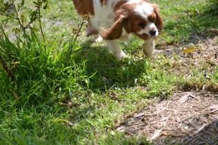 Starlet-Cavalier-Banksia Park Puppies - 25 of 25