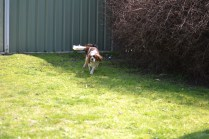 Starlet-Cavalier-Banksia Park Puppies - 9 of 25