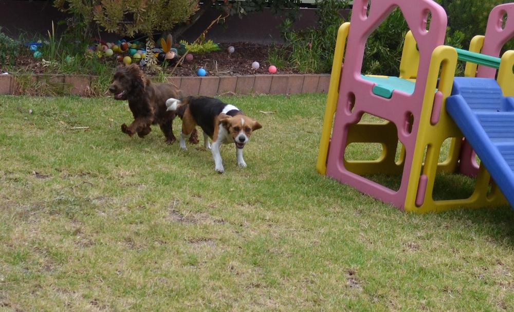 Banksia Park Puppies Bonita
