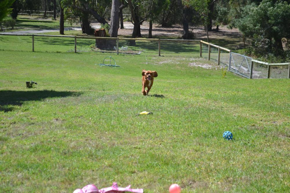 Banksia Park Puppies Patsy