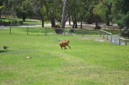 Banksia Park Puppies Rosemary