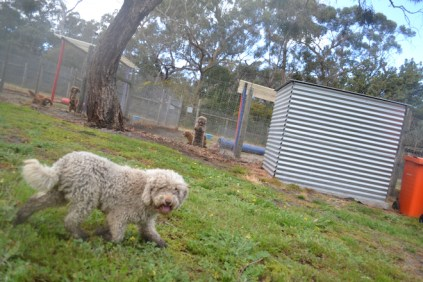 banksia-park-puppies-ariel-14-of-20