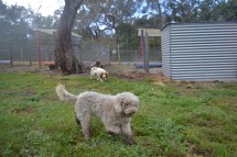 banksia-park-puppies-ariel-18-of-20