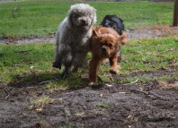 banksia-park-puppies-ariel-19-of-20
