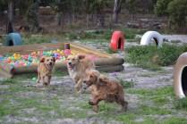 Banksia Park Puppies Sara - 18 of 39