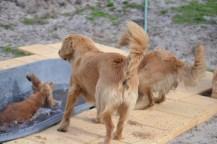 Banksia Park Puppies Sara - 20 of 39