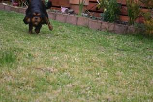 Banksia Park Puppies Chazzie - 20 of 39