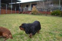 Banksia Park Puppies Chazzie - 36 of 39