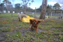 banksia-park-puppies-crunchie-17-of-25