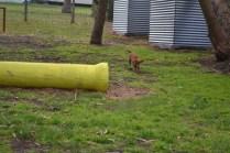 banksia-park-puppies-crunchie-2-of-25