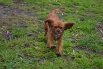banksia-park-puppies-crunchie-7-of-25
