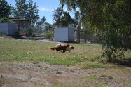 Banksia Park Puppies Muffin Ravi - 12 of 28
