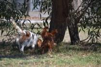 Banksia Park Puppies Muffin Ravi - 23 of 28