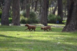 Banksia Park Puppies muffin