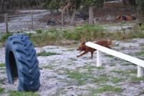Banksia Park Puppies Poko - 12 of 19