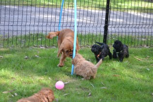 Harlee-Cavalier-Banksia Park Puppies - 17 of 24