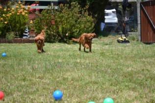 shazzoom-banksia-park-puppies-20-of-22