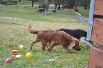 Banksia Park Puppies Saba and Sweety