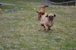 Banksia Park Puppies Monty - 10611