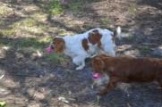 Banksia Park Puppies Ravi