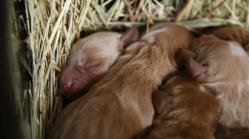 newborn banksia park puppies