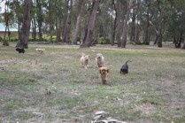 Banksia Park Puppies Sherry, Sharon, Arial, Swoosh - 6