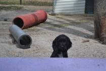 Banksia Park Puppies Swoosh