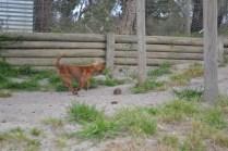 banksia-park-puppies-roz-3-of-8