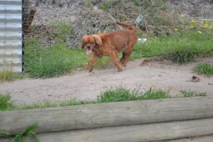 banksia-park-puppies-roz-4-of-8