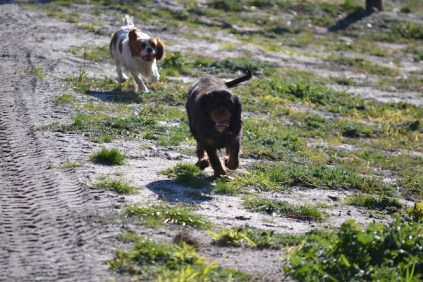 Banksia Park Puppies Ravi - 12 of 39