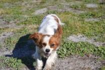 Banksia Park Puppies Ravi - 24 of 39