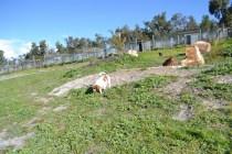Banksia Park Puppies Ravi - 30 of 39