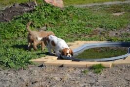 Banksia Park Puppies Ravi - 36 of 39