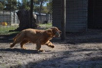 Banksia Park Puppies Saffi Ray - 42 of 44