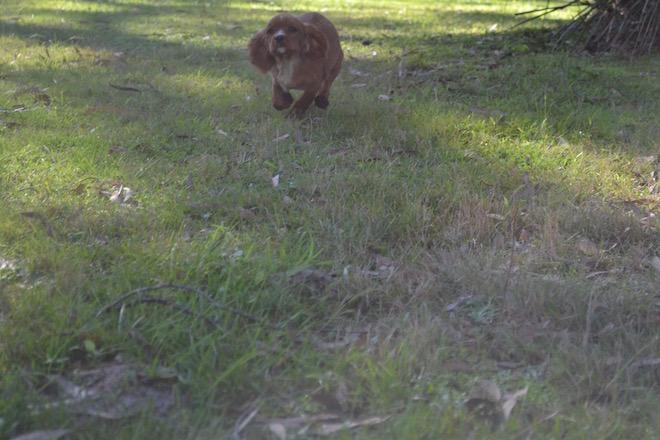Banksia Park Puppies Pavi