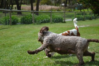 banksia-park-puppies-chacha-15-of-36