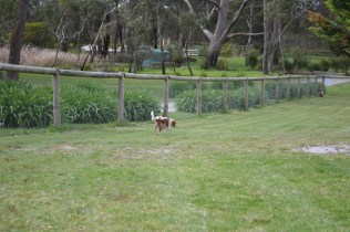 banksia-park-puppies-chacha-26-of-36