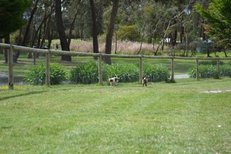 banksia-park-puppies-chacha-8-of-36