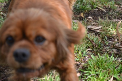 banksia-park-puppies-honey-12-of-33