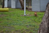 banksia-park-puppies-shayla-15-of-41