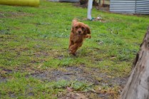 banksia-park-puppies-shayla-18-of-41