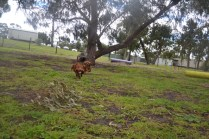 banksia-park-puppies-shayla-2-of-41