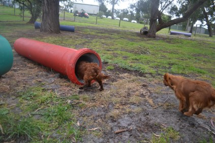 banksia-park-puppies-shayla-20-of-41